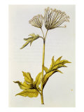 Angelica, from &#39;La Guirlande de Julie&#39;, c.1642 Giclee Print by Nicolas Robert