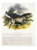 The Wolf Reproduction proc&#233;d&#233; gicl&#233;e par Josiah Wood Whymper