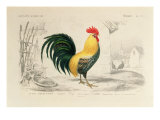 Domestic Cock, Illustration from 'Dictionnaire Universel D'Histoire Naturelle' by Charles D'Orbigny Giclee Print by Edouard Travies