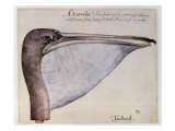 Head of a Brown Pelican Giclee Print by John White