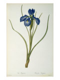 Iris Xyphioides, from `Les Liliacees&#39;, 1808 Giclee Print by Pierre Joseph Redoute