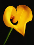 A Yellow Lily with an Arrow as the Stigma Photographic Print by Abdul Kadir Audah