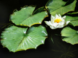 White Water Lily Flower and Lily Pads Floating on Water, Romo Island, Denmark, Green, Leaf Photographic Print by Diane Miller