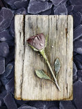 Frosted Rose on Weathered Piece of Timber Photographic Print by James Guilliam