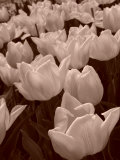 Field of Tulips in Holland, Keukenhof, Holland, Sepia Photographic Print by Abdul Kadir Audah