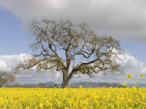 Bare Oak Tree Photographic Print by Diane Miller