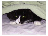 Cat Looking Out from under Blanket Giclee Print by Rich LaPenna