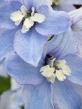 Delpinium Flowers Fotografie-Druck von James Guilliam