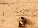 Kitten Sticking it&#39;s Head Out of Hole in the Wall Photographie par Rob Lang