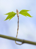 Sugar Maple Leaf Bud Opening Photographic Print by John Churchman