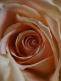 Close-Up of Rose Photographic Print by Elise Donoghue