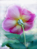Winter Greenhouse Rose, Underside Photographic Print by Emiko Aumann