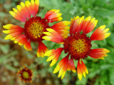 Indian Blanket, Fire Wheel Flower Photographic Print by Emiko Aumann