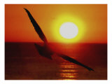 Bird Gliding into Setting Sun Reproduction proc&#233;d&#233; gicl&#233;e par Rich LaPenna