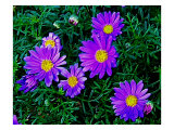 Purple Daisies Aganst Rich Green Leaves Giclee Print by Rich LaPenna