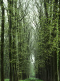 Row of Trees in the Woods Lmina fotogrfica por Rob Lang