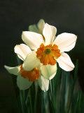 Diane Miller - Two White and Orange Daffodils - Fotografik Baskı