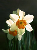 Two White and Orange Daffodils Photographic Print by Diane Miller