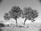 Black and White Image of Two Trees Photographic Print by Rob Lang