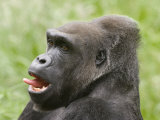 Close-Up of a Gorilla Photographic Print by Diane Miller