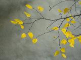 Yellow Autumnal Birch (Betula) Tree Limbs Against Gray Stucco Wall 写真プリント : ダニエル・ルート