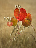 Wild Grape Leaves and Oats Photographic Print by Diane Miller