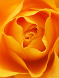 Still Life Photograph, Close-Up of Orange Rose Fotografisk tryk af Abdul Kadir Audah