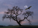 Oak Tree Silhouetted Against Cloudy Sunrise with Partially Obscured Moon and Flying Vulture Reproduction photographique par Diane Miller