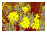 Yellow Daisies Giclee Print by Rich LaPenna
