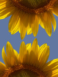 Sunflowers Photographic Print by Abdul Kadir Audah