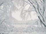 Image of Snow Covered Trees Reprodukcja zdjęcia autor Rob Lang