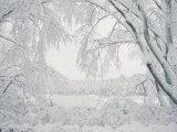 Rob Lang - Image of Snow Covered Trees - Fotografik Baskı