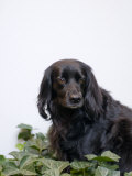 Black, Cocker Spaniel Mix Dog in Ivy Against White Photographic Print by Daniel Root