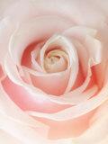 Still Life Photograph, a Pink Rose, Shot with Shallow Dof Reprodukcja zdjęcia autor Abdul Kadir Audah