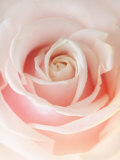 Still Life Photograph, a Pink Rose, Shot with Shallow Dof Fotodruck von Abdul Kadir Audah