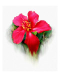Hibiscus Flower Giclee Print by Rich LaPenna