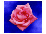 Pink Rose on Blue Background Giclee Print by Rich LaPenna