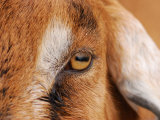 Close-up of a Nubian Goat's Eye Photographic Print by Darlyne A. Murawski
