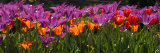 Panoramic Detail of Purple and Orange Tulips Photographic Print by Paul Sutherland
