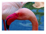 Headsup of Flamingo Bird Giclee Print by Rich LaPenna