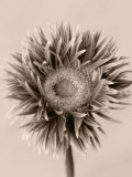 Still Life Photograph, a Gerbera Close-Up with Sepia Toning Photographic Print by Abdul Kadir Audah
