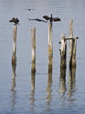 Cormorants, California Coast Photographie par Diane Miller