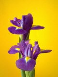 Still Life Photograph, Iris Flowers with Strong Yellow Colour Background Photographic Print by Abdul Kadir Audah
