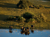 Aerial of African Elephants in the Waters of the Okavango Delta Photographic Print by Beverly Joubert