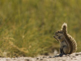 Ground Squirrel, Xerus Species, Eating Photographic Print by Beverly Joubert