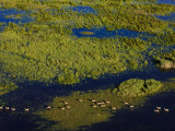 Herd of Antelope Running Through Okavango Marsh Land Photographic Print by Beverly Joubert