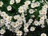 White Daisies in the Spring on Cape Cod Photographic Print by Darlyne A. Murawski