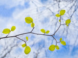 American Beech Leaves on a Branch Photographic Print by John Churchman