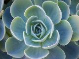 Diane Miller - Close-Up of a Succulent Plant Fotografická reprodukce