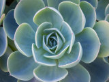 Close-Up of a Succulent Plant Photographic Print by Diane Miller